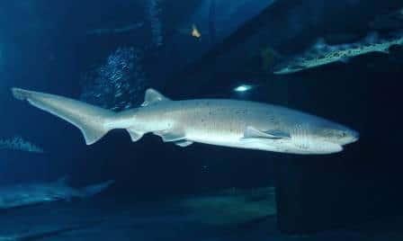Broadnose Sevengill Shark