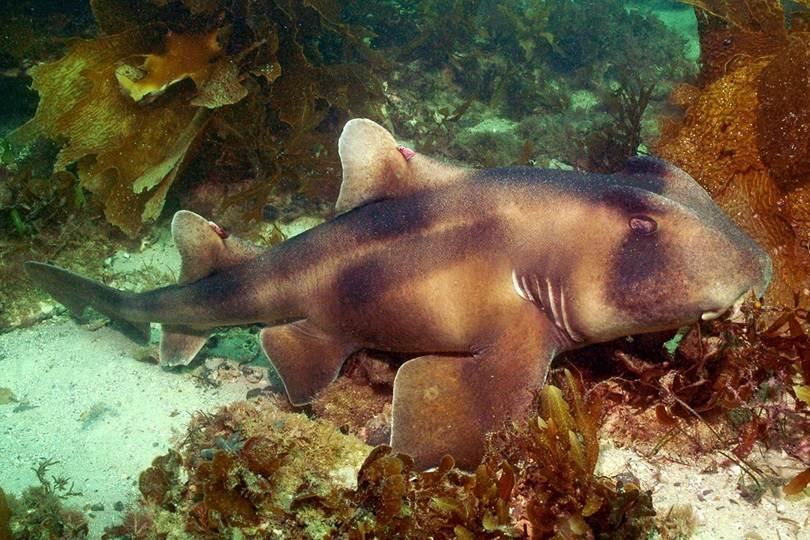 Crested Bullhead Shark