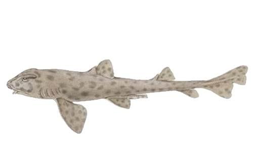 Galapagos Bullhead Shark