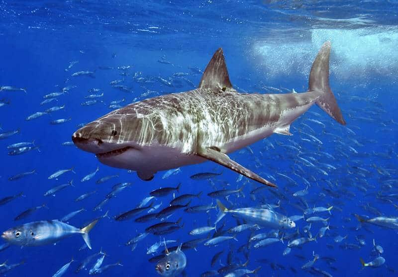 Mackerel Shark