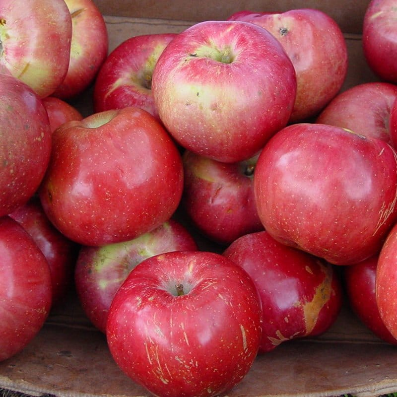 Northern Spy Apple