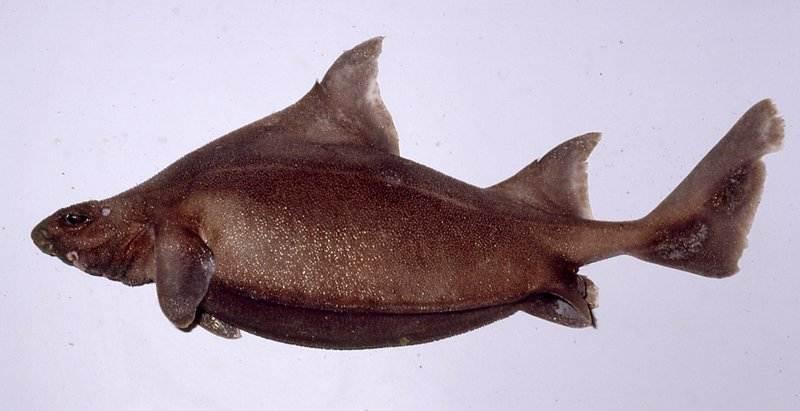 Prickly Dogfish Shark