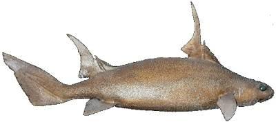 Sailfin Rough Shark
