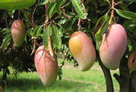 Amrapali Mango