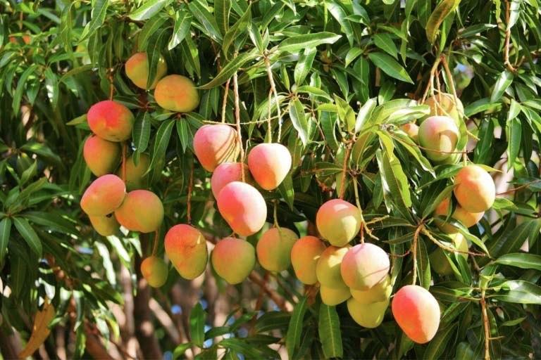 Kilichundan Mango