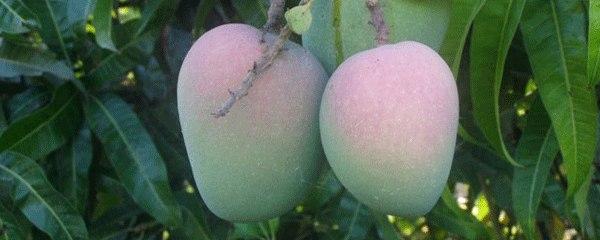 Konkan Raja Mango