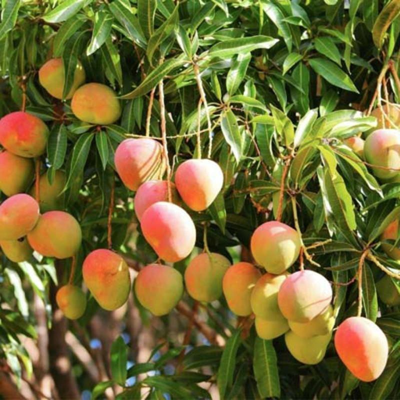 Subarnarekha Mango