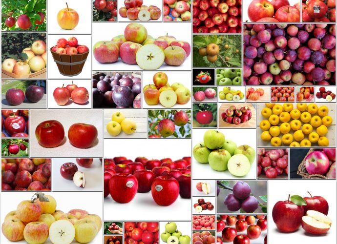 Types of Apple Varieties