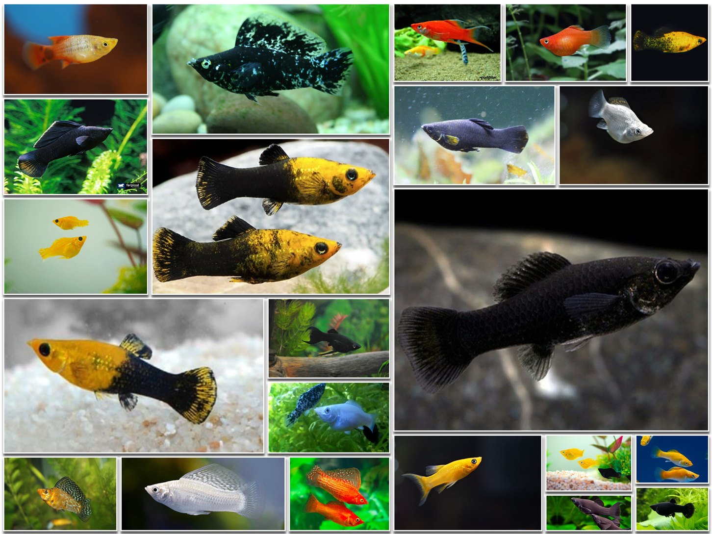 Types of Molly Fish