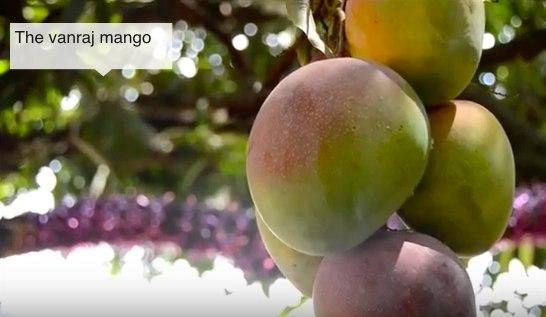 Vanraj Mango