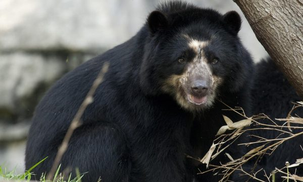 Andean Bear Or Spectacled Bear