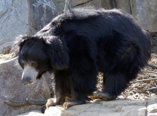 Sloth Bear–Melursus (Ursus) Ursinus